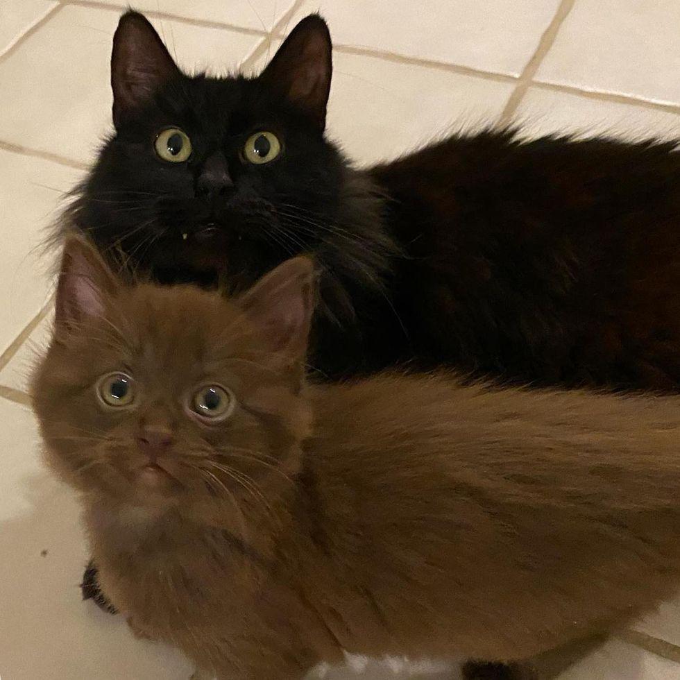 brown kitten and black cat