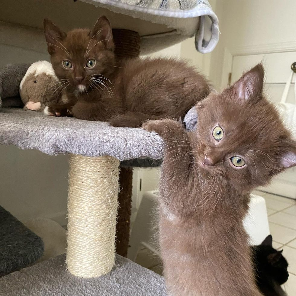 chocolate brown kittens