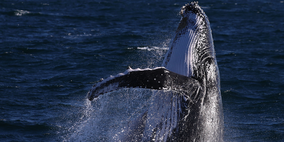 Man Swallowed by Humpback Whale Describes Being Inside the Animal