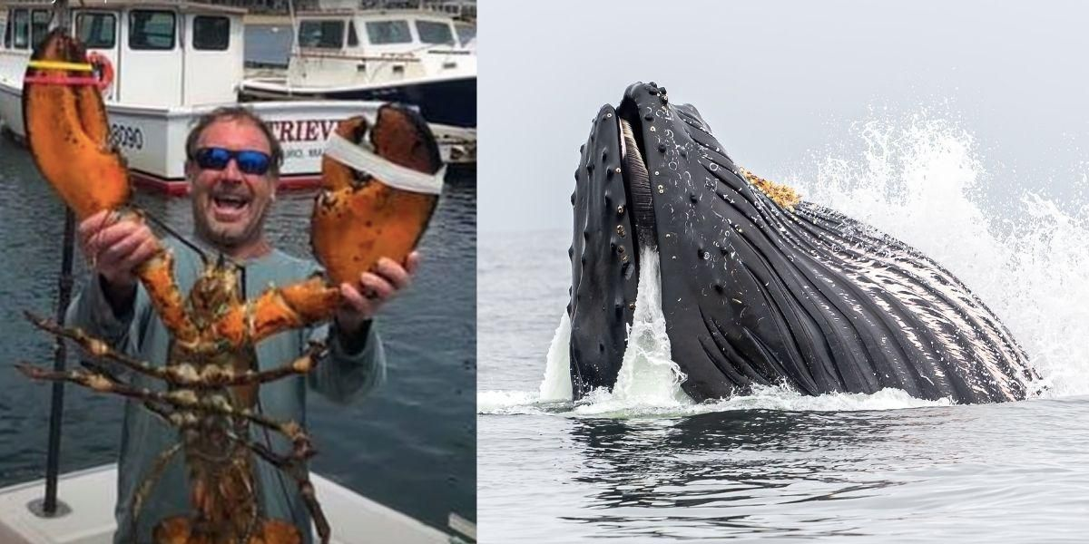 Lobster diver survives after being nearly swallowed—then spit out—by humpback whale