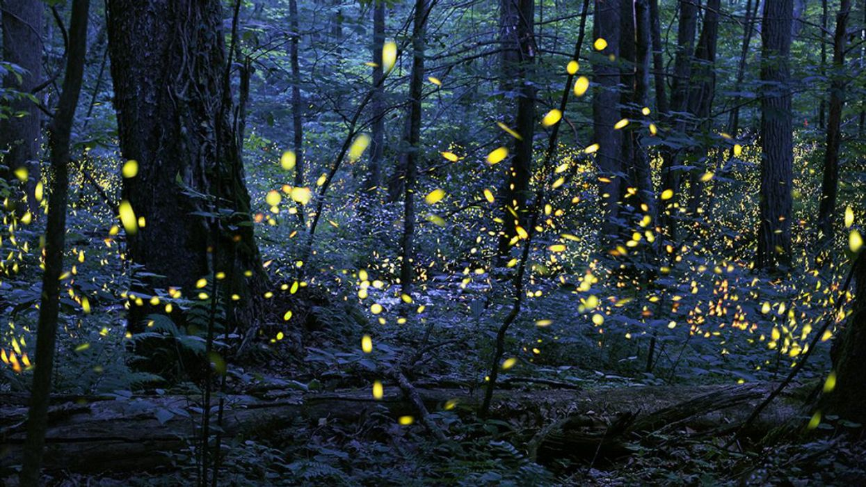 Synchronous fireflies.