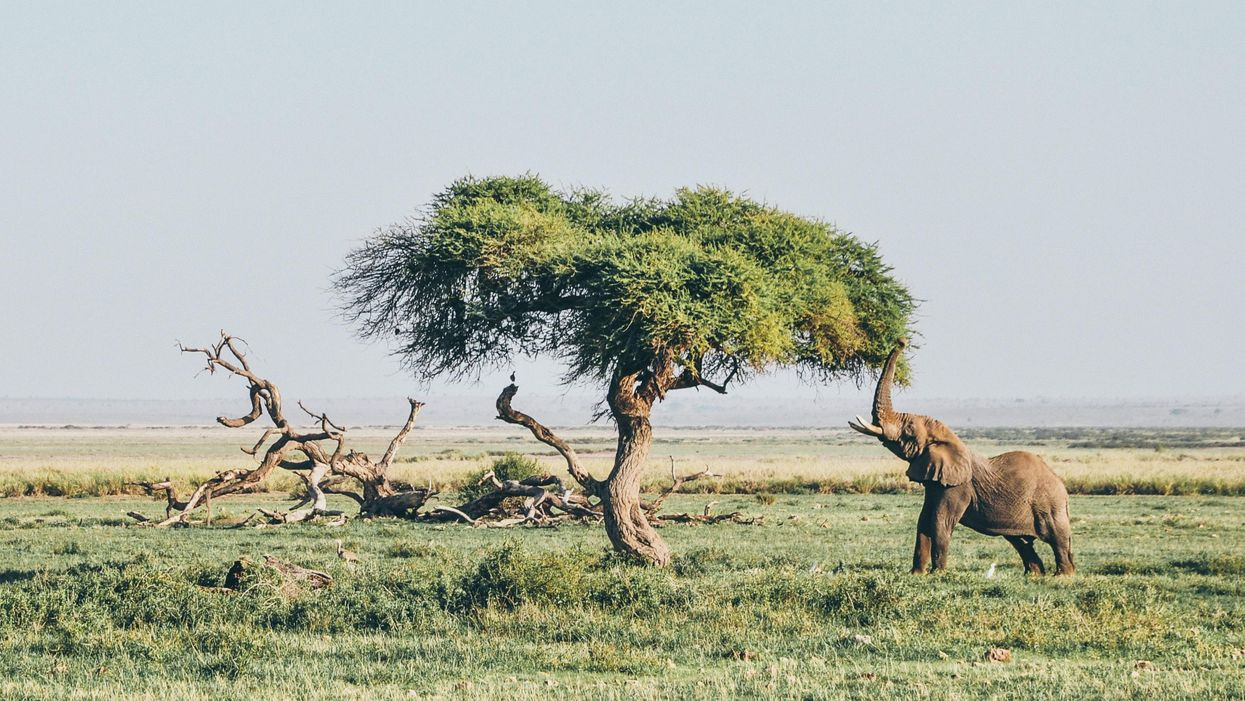 An elephant uses its trunk to eat from a tree in a vast plain.