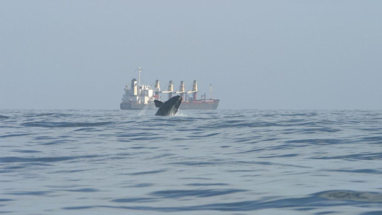A juvenile North Atlantic right whale breaches as a bulk carrier ship passes near the entrance to St. John's River in Florida in 2006.