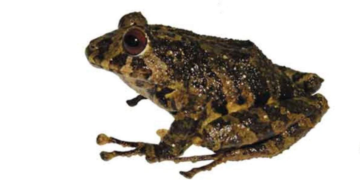 Scientists Name New Frog After Led Zeppelin