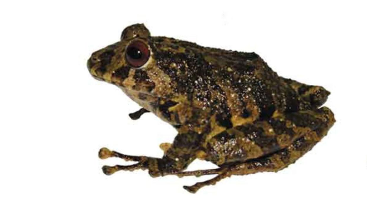 A new frog species hails from the Ecuadorian Andes.