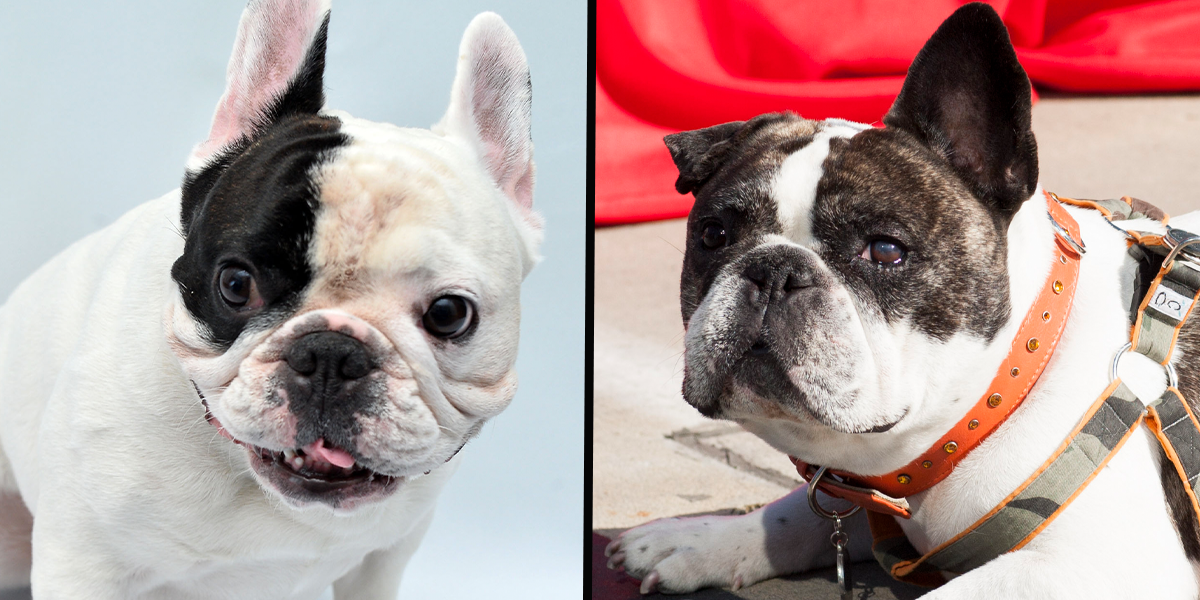 Breeder Is Trying to Reengineer French Bulldogs' Faces To Make Them Healthier