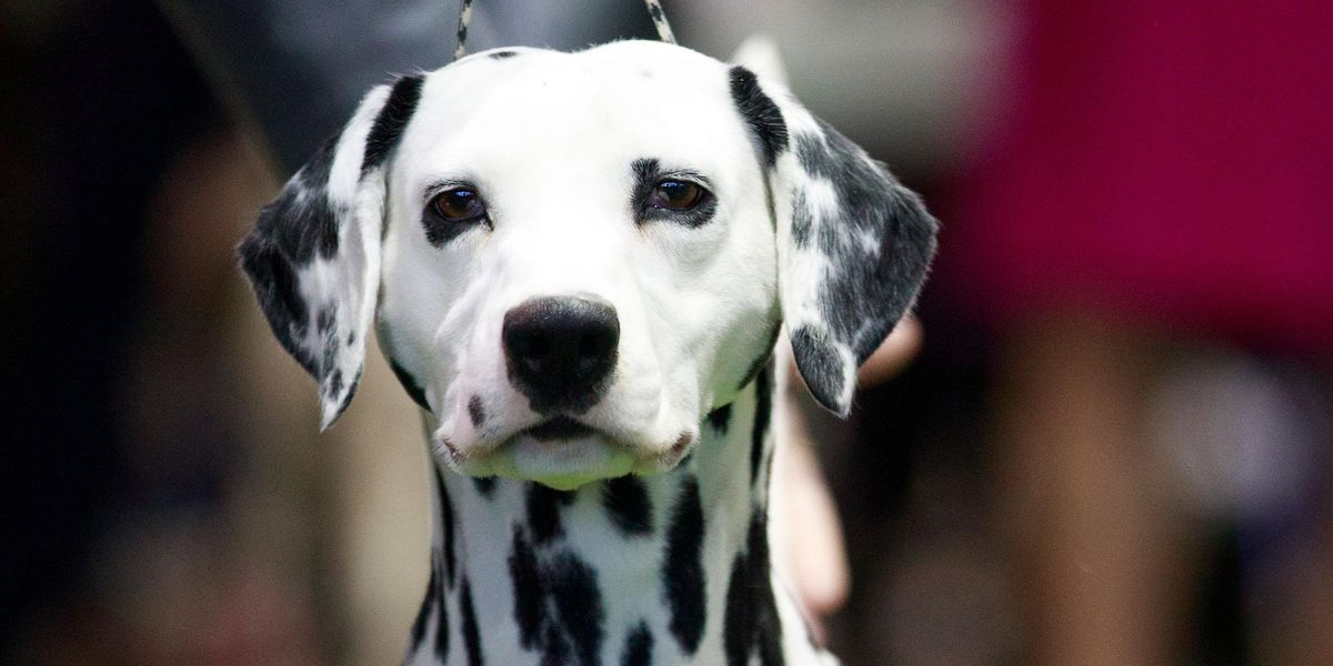 Dalmatian Gives Birth to 16 Puppies, Almost Breaking World Record