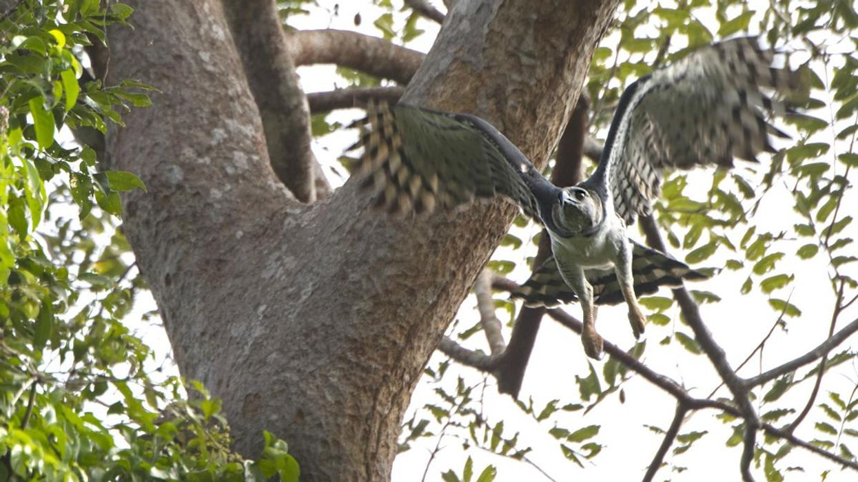 A harpy eagle with her nest.