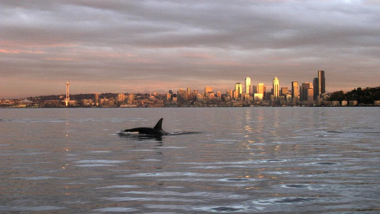An orca whale swims in Elliott Bay with the Seattle, Washington, skyline in the background.