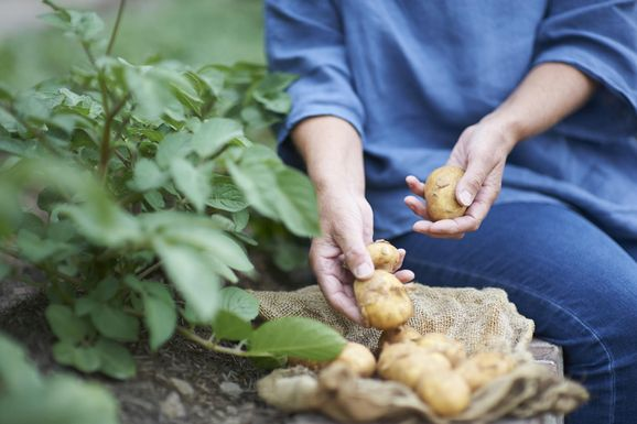 Woman gathering potatoes from vegetable patch