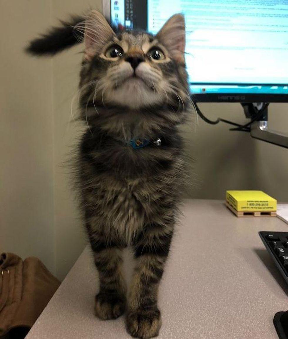 kitten office assistant, office cat