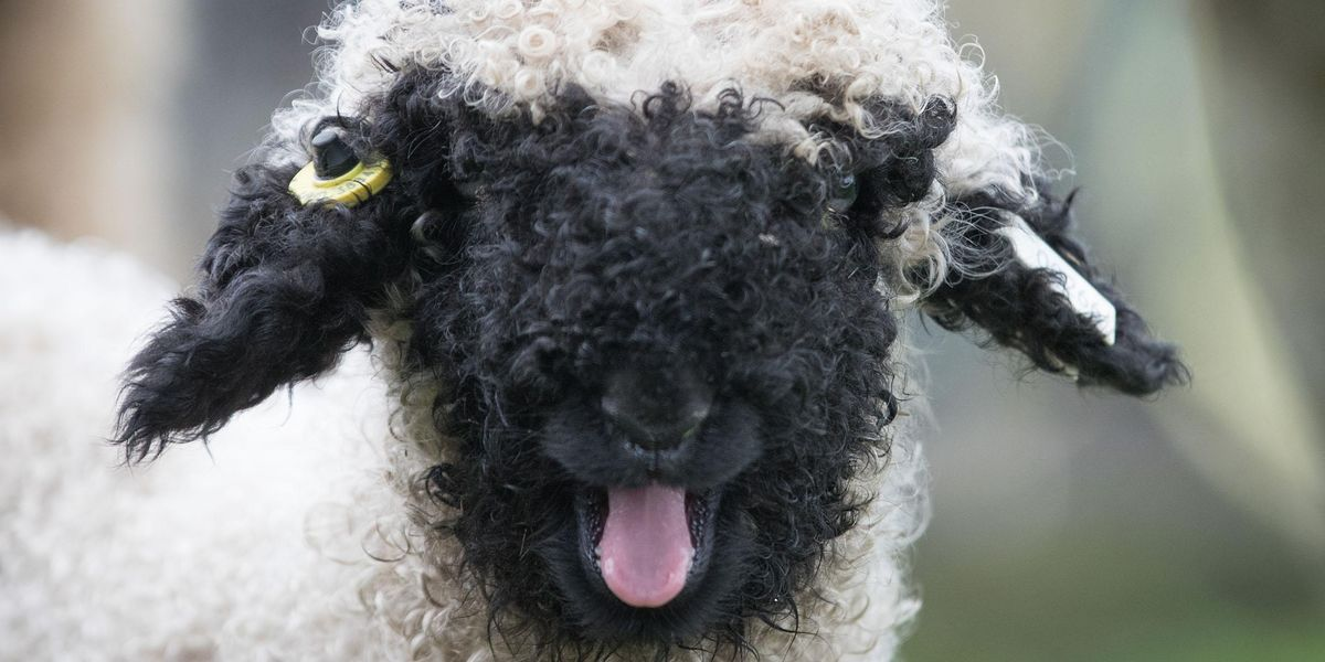 There Are Fluffy Blacknose Sheep You Can Own As a Pet and They Are Perfect