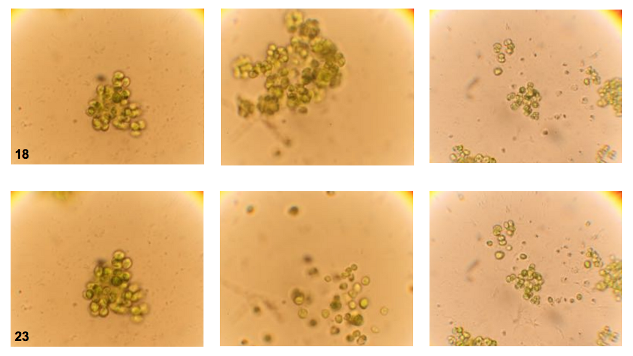 How evolution shifts from unicellular to multicellular life