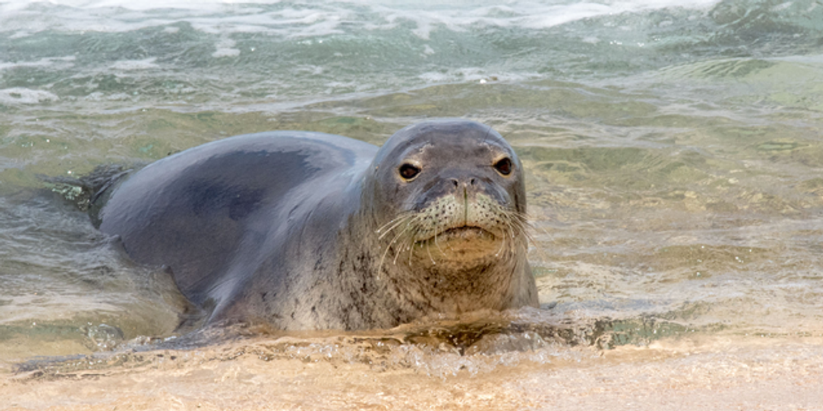 Louisiana Couple Fined for Touching Endangered Seal During Hawaii Honeymoon