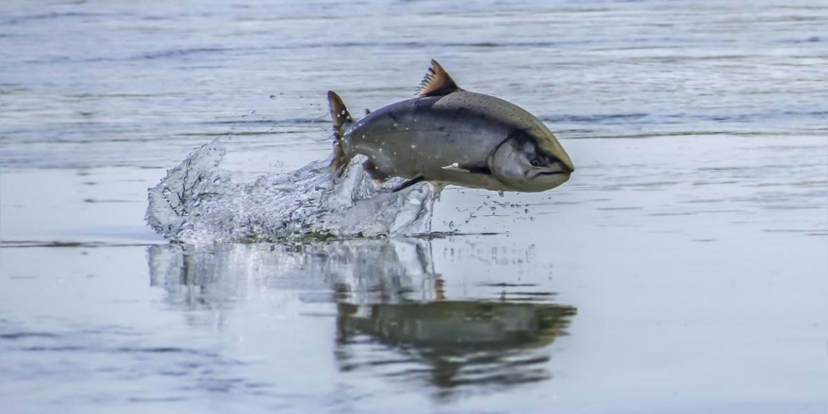 Nearly All Chinook Salmon in Sacramento River Expected to Be Killed by Extreme Heat, Water Mismanagement