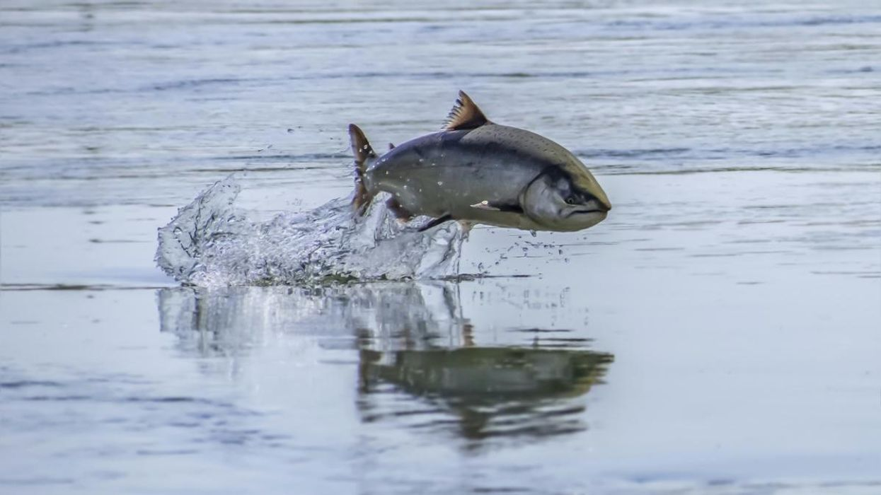 A chinook salmon jumps in the Sacramento River.