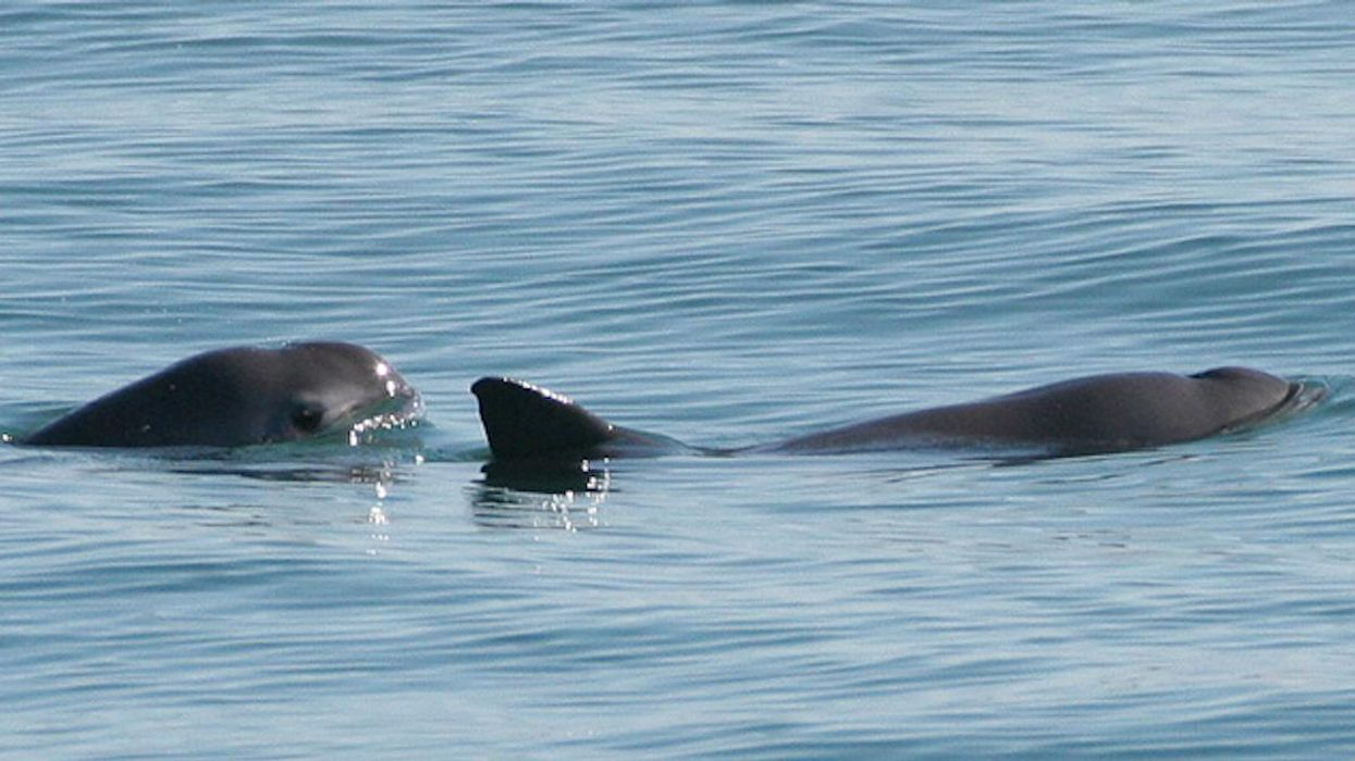 Two vaquitas surfacing for air in the Sea of Cortez.