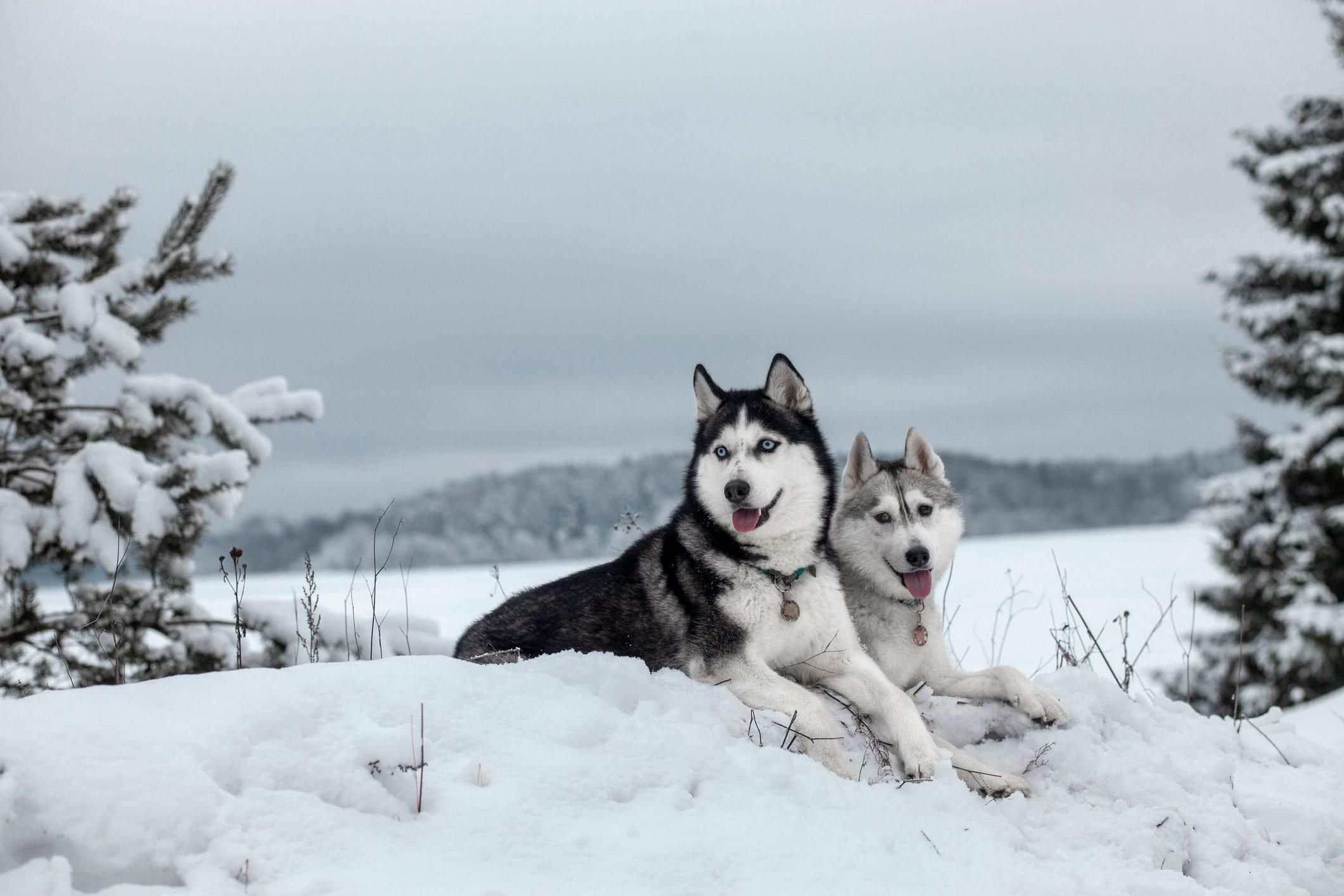 6 Reasons Why the Siberian Husky Is The Ideal Family Pet