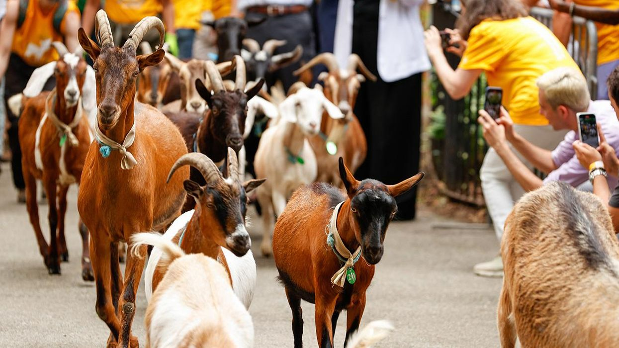 goats in new york city
