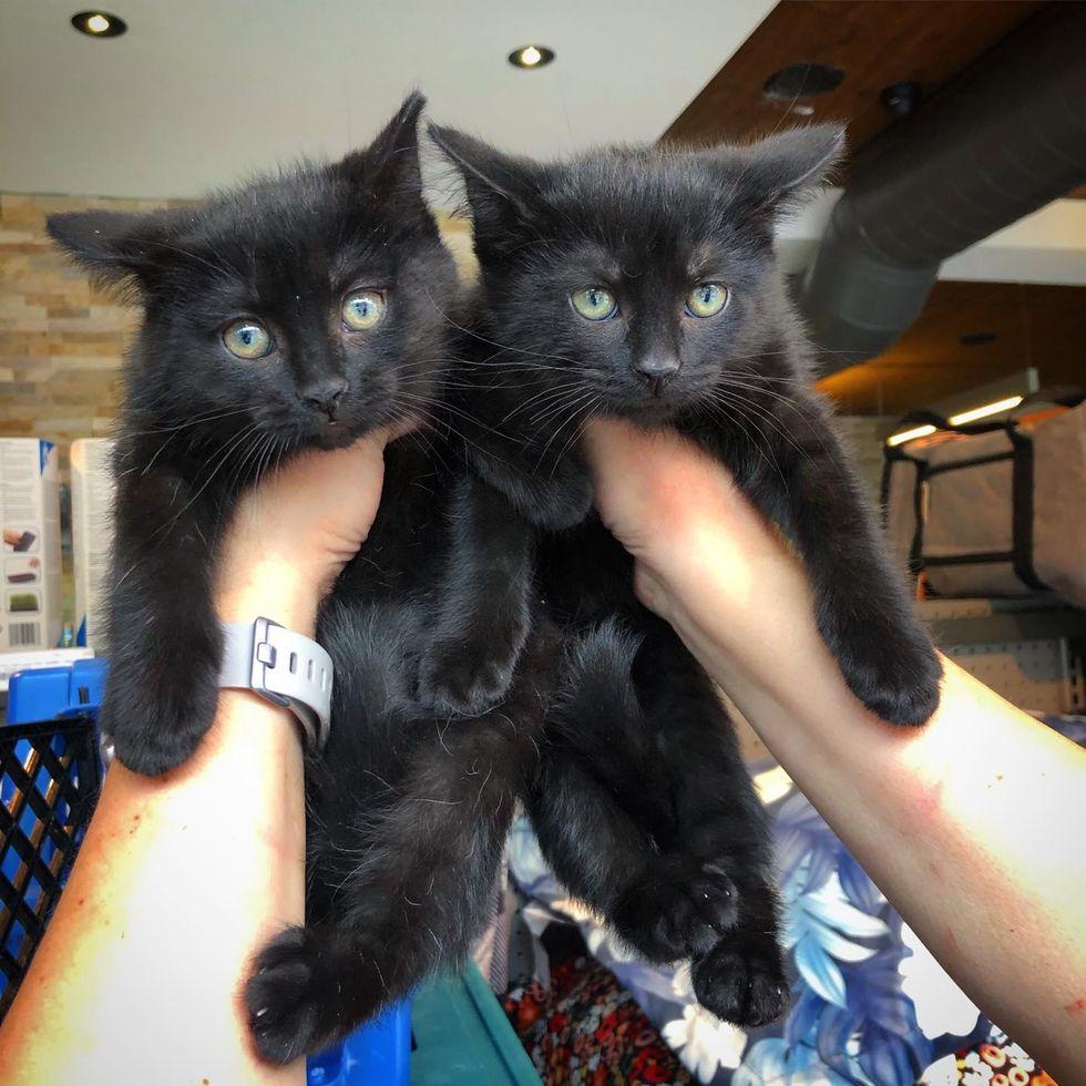 twin black kittens