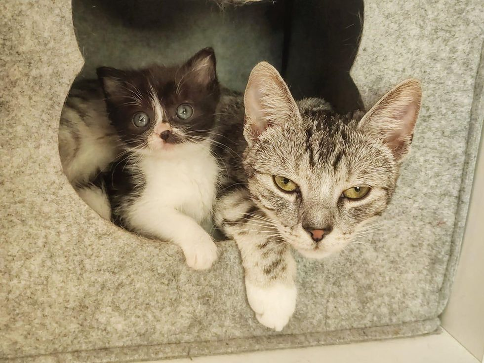 small kitten big cat