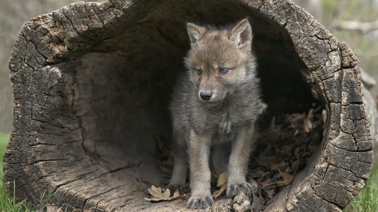 Nearly One Third of Wisconsin's Gray Wolves Killed in Legal Hunt, New Study Finds