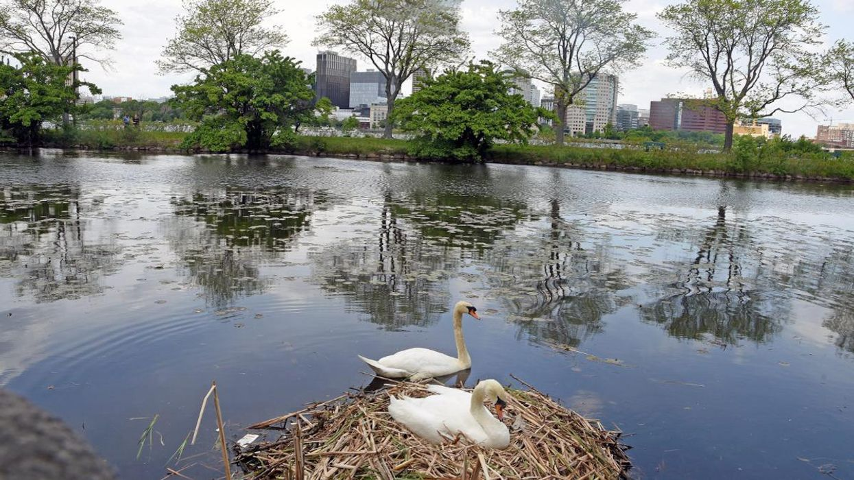 A pair of mute swans nest along the Charles River.