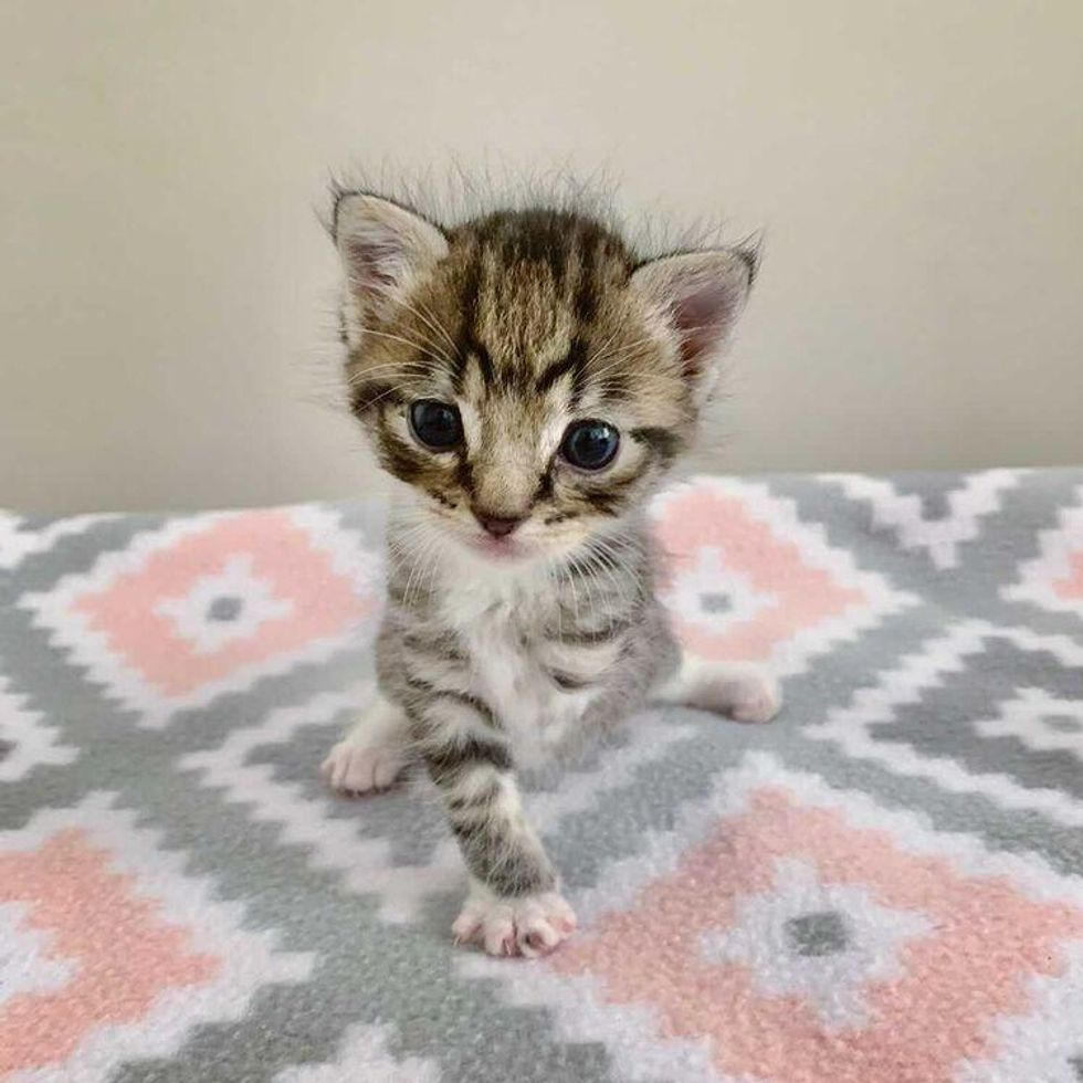 tripod kitten, 3-legged cat