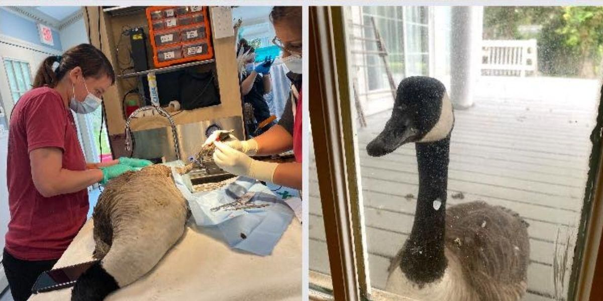 A wild goose was taken to an animal hospital. His mate knocked on the door to find him.