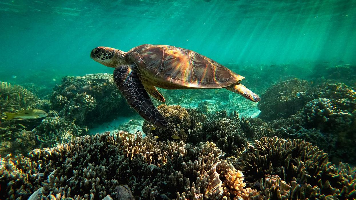 A green sea turtle is flourishing among the corals