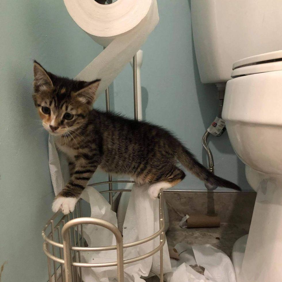kitten toilet paper
