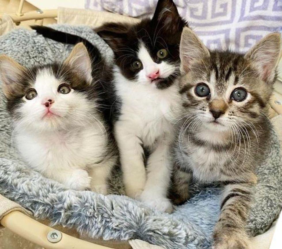 bonded kittens trio