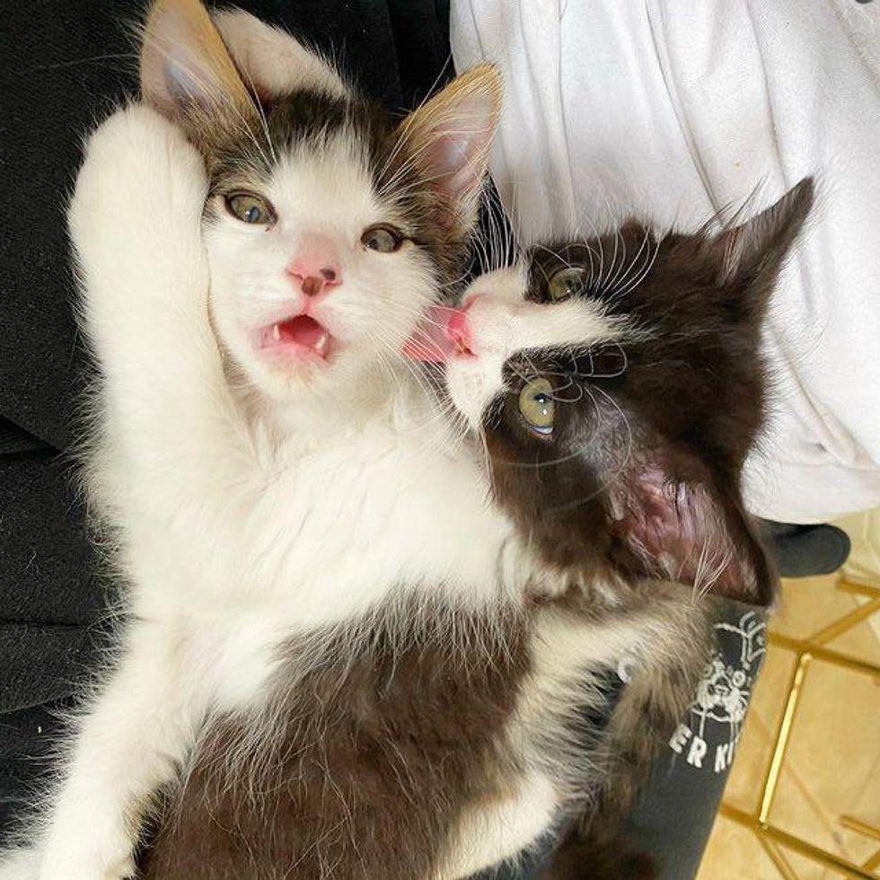 best friends cuddly kittens