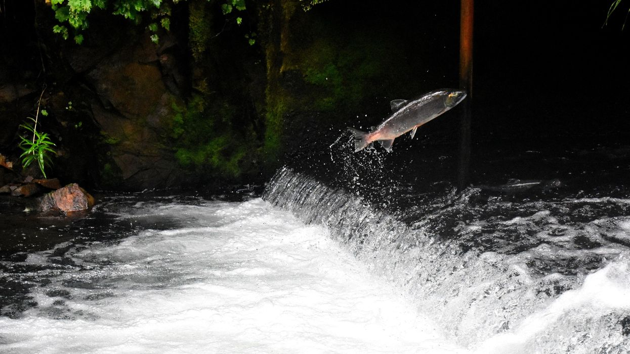 Salmon nearly roasted alive in Pacific north-west heatwave captured on video