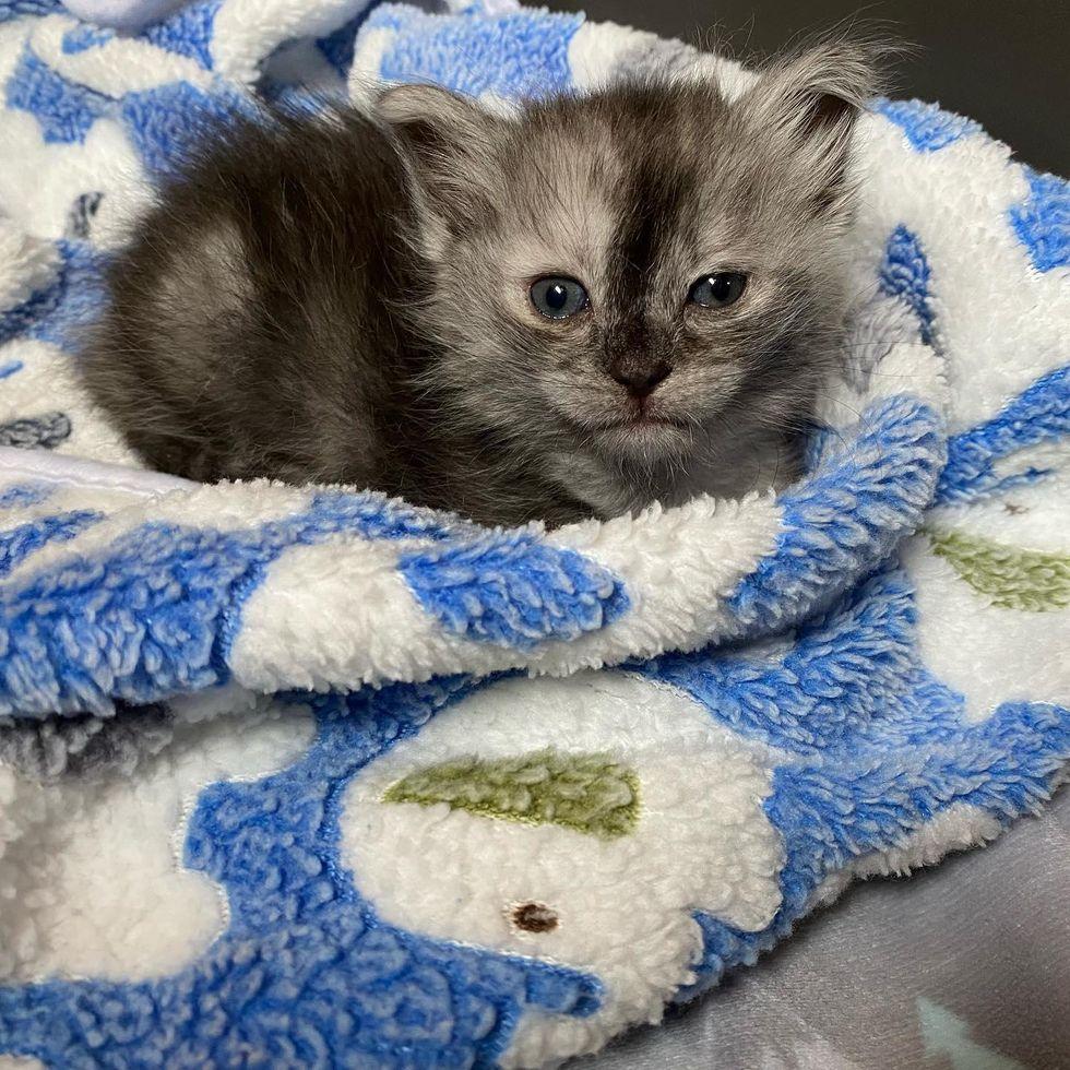 kitten with beautiful markings, wolf kitten