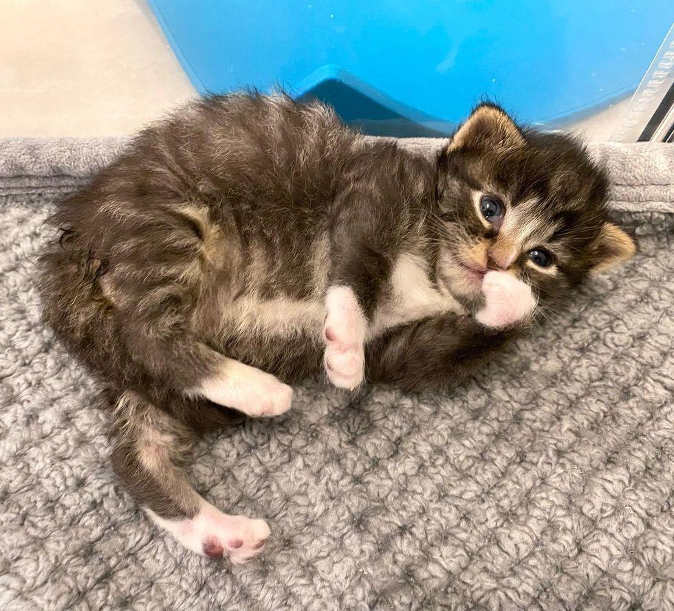 tabby kitten belly
