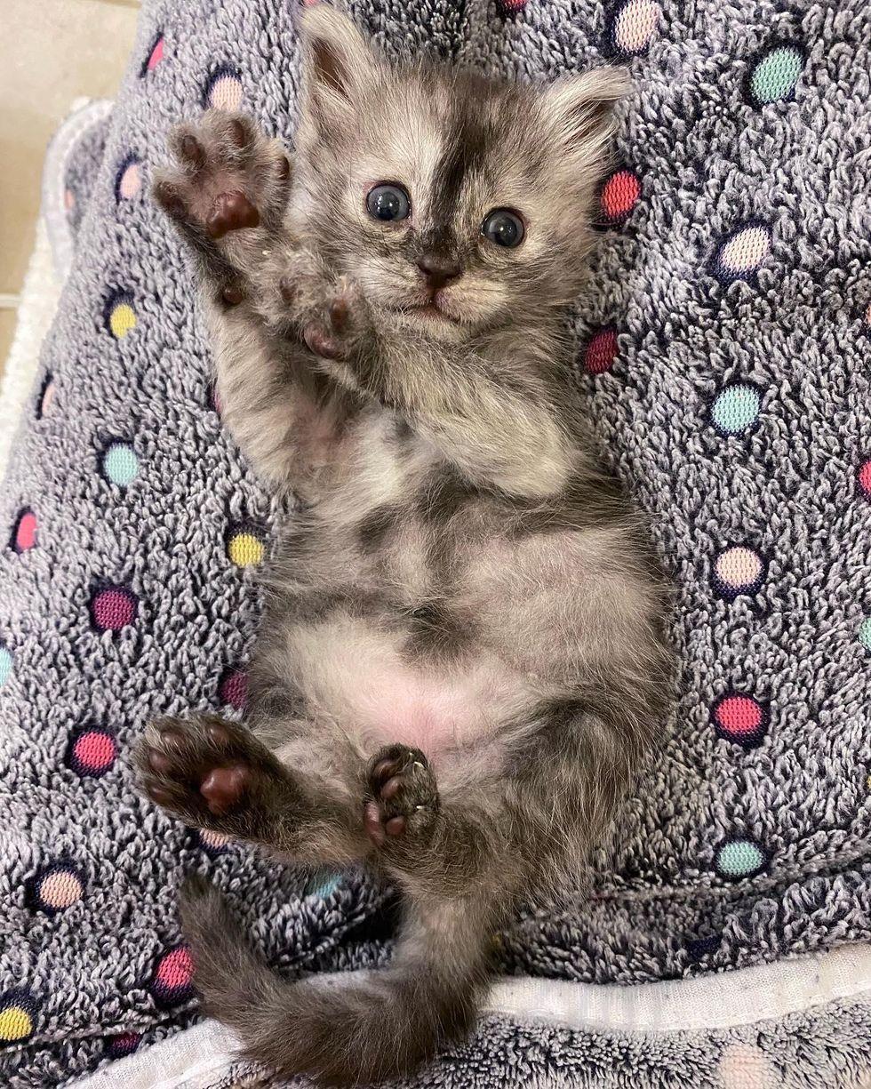 kitten toe beans