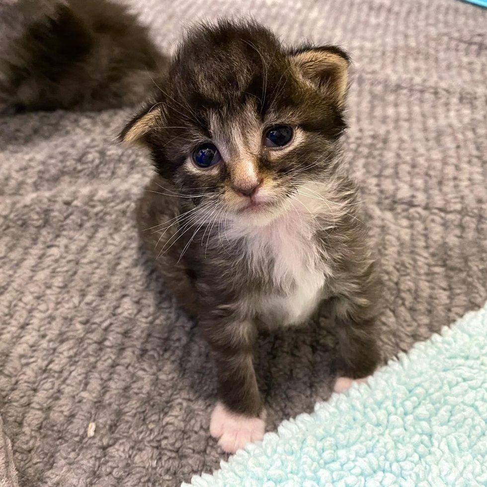 kitten folded ears