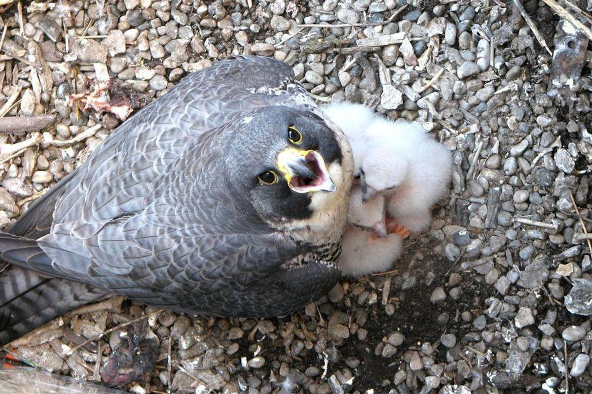 Breeding success: how tattoos and aviaries are helping save the saker falcon