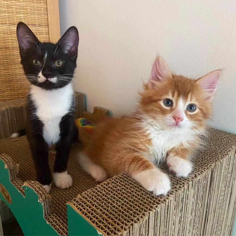 Tuxedo and ginger kitten