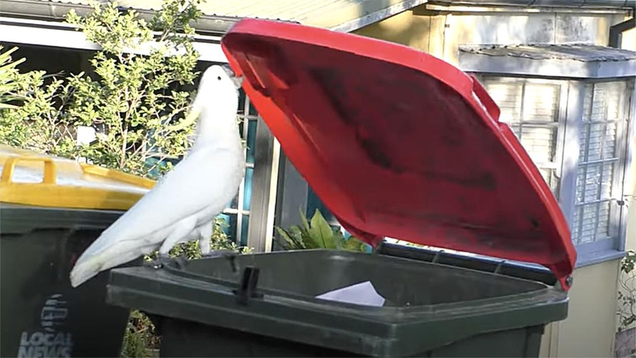 Cockatoos teach each other the secrets of dumpster diving
