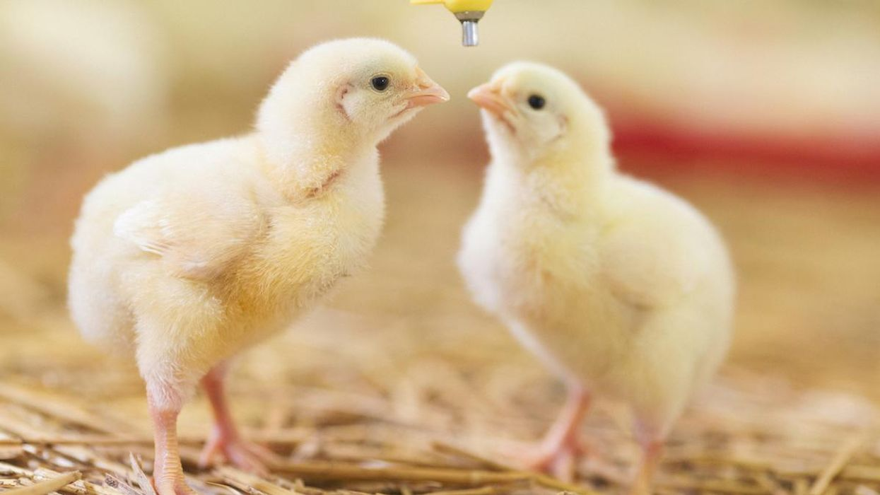 Two baby chicks.