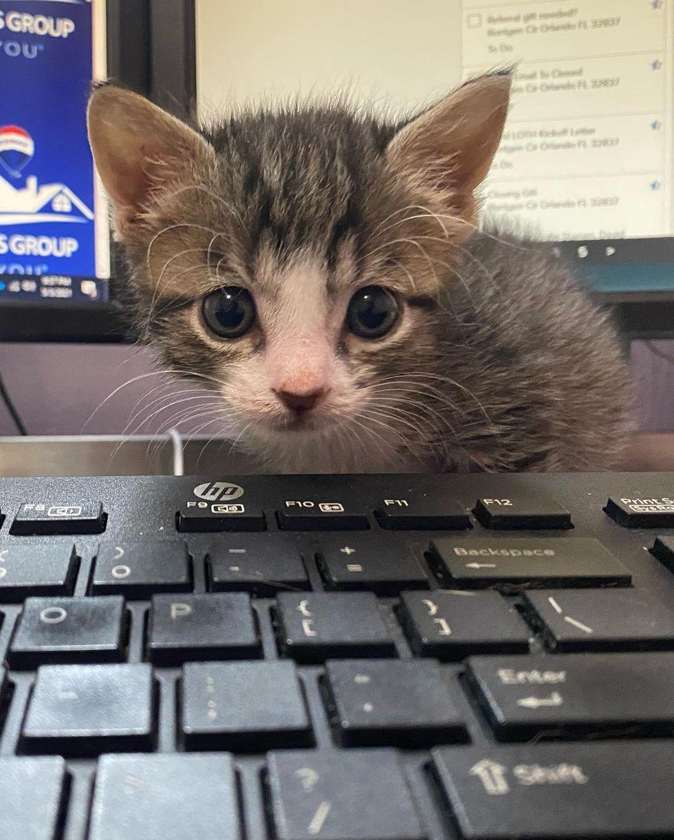 office kitten keyboard