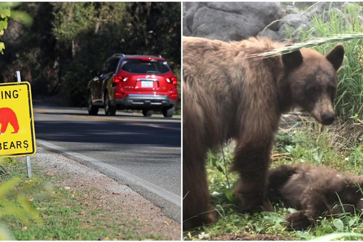 Yosemite ranger shares devastating post about the death of a bear cub and its grieving mom