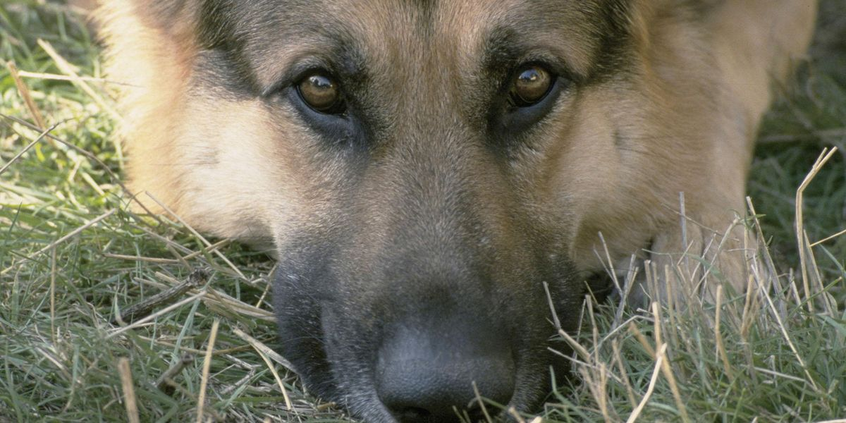 German Shepherd Saves the Life of a 90-Year-Old Woman Lost In the Woods