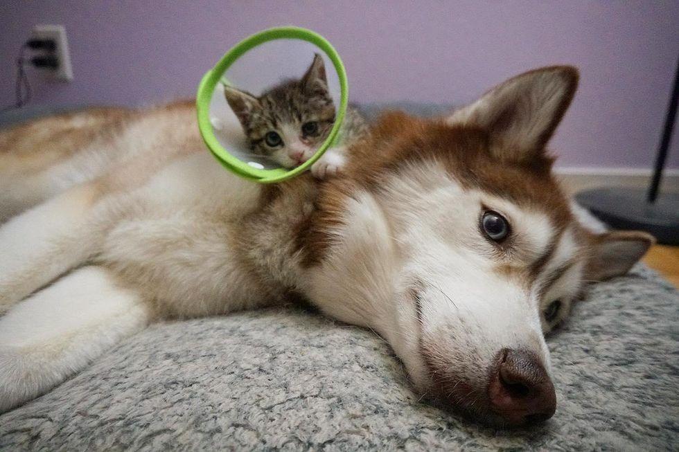 husky dog kitten