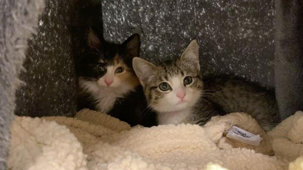 calico tabby kitten