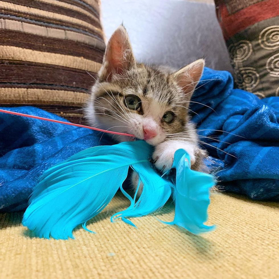 kitten catches feather toy