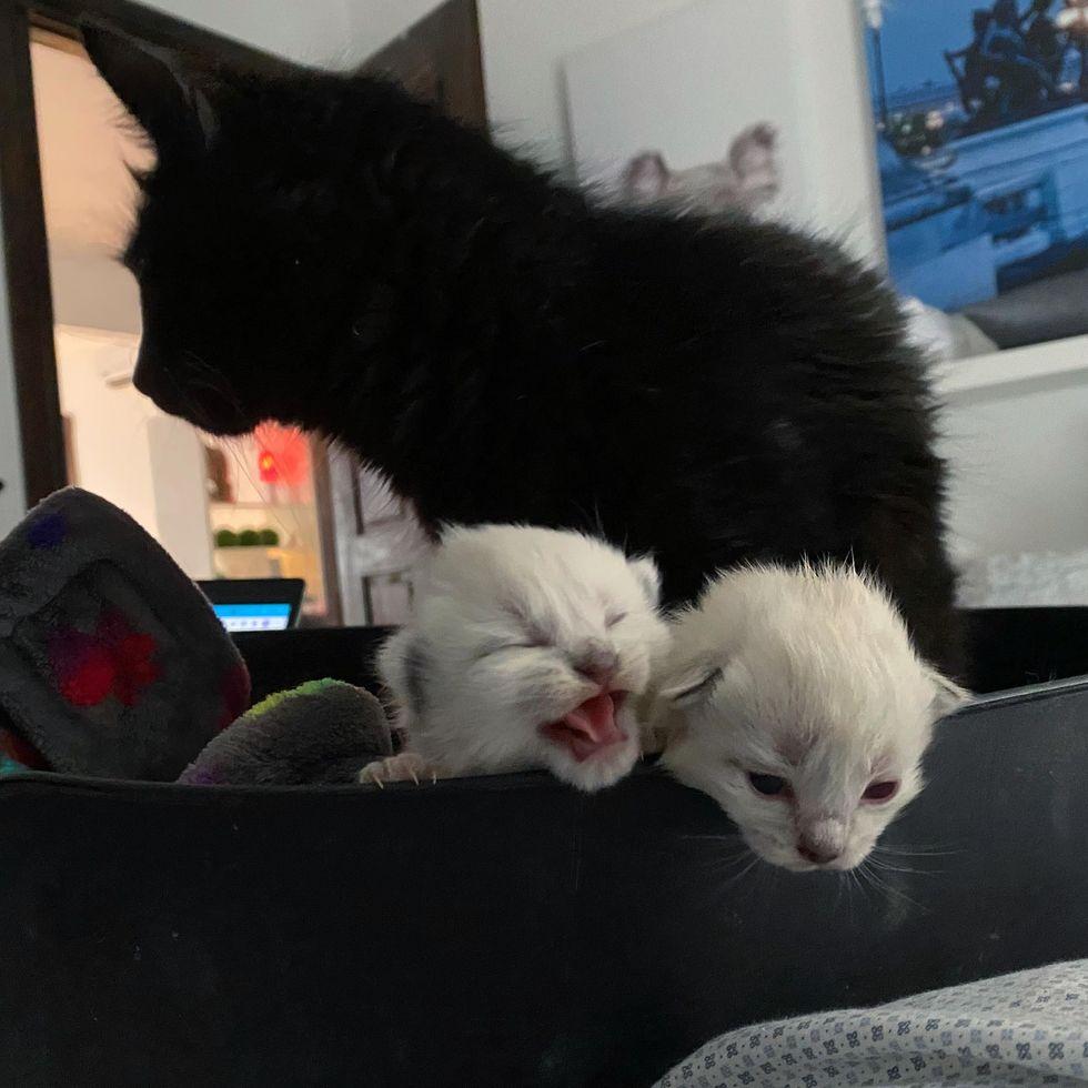 tiny kittens siamese