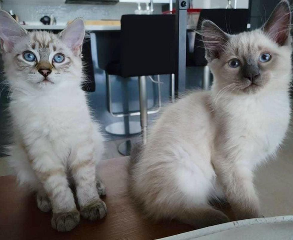siamese brothers kittens